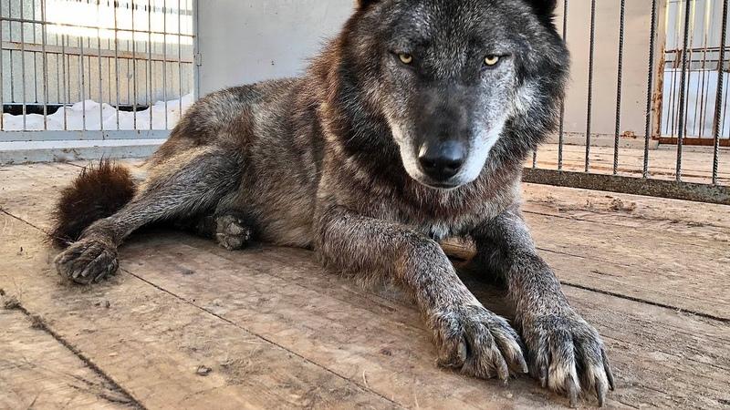 Волк воспринимает собаку в качестве добычи Канадский Волк Акела и Тайга западносибирская лайка