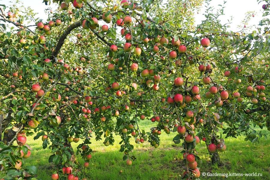 Ошибки начинающего садовода, ведущие к гибели плодового сада
