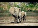 Семейство слонов. Документальный фильм.