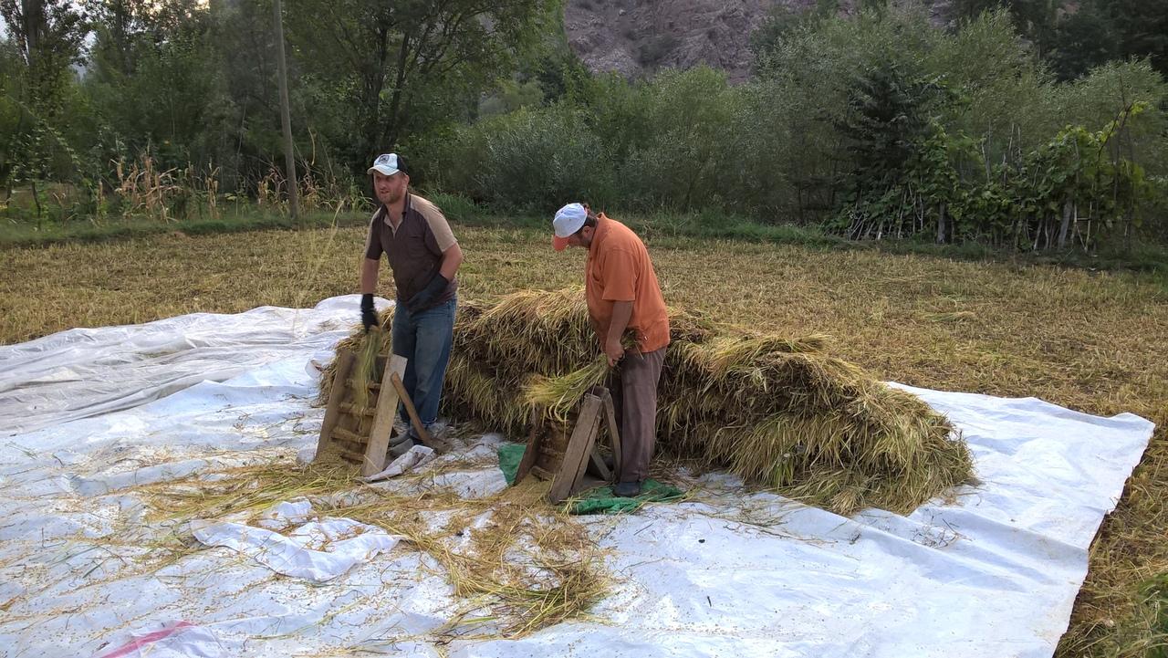 редкий кадр для Турции - вручную молотят рис.