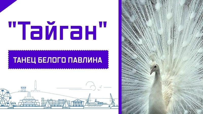 ТАЙГАН - ТАНЕЦ БЕЛОГО ПАВЛИНА