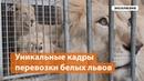 Уникальные кадры перевозки белых львов в новый зоопарк