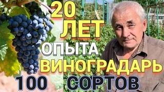 Человек растит 100 сортов винограда на участке   ИНТЕРВЬЮ  Как правильно выращивать виноград? УФА