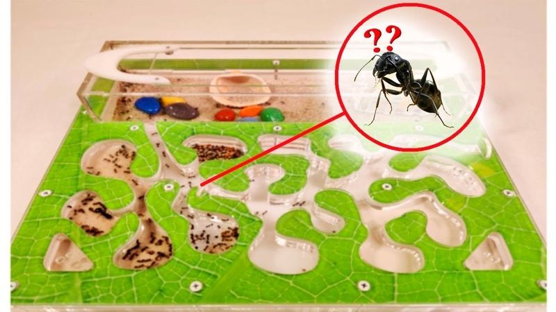 МУРАВЬИ ВПЕРВЫЕ УВИДЕЛИ НОВУЮ ТЕРРИТОРИЮ Моя Колония муравьев жнецов