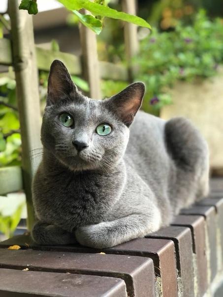 russian blue cat - 736×981