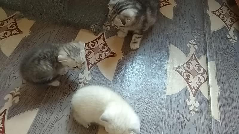 Шотландские котята Казань