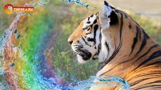 РАДУГА для ТИГРОВ! Тайган.  Lion & tigers life in Taigan.