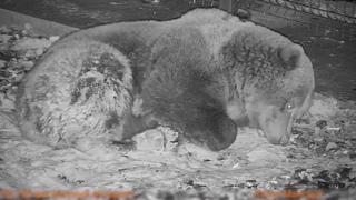 Как спят медведи? Ответ в этом видео 🐻💤