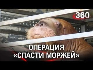 Видео: два цирковых моржа едва не погибли под Тулой. Сотрудники МЧС пять часов поливали их водой