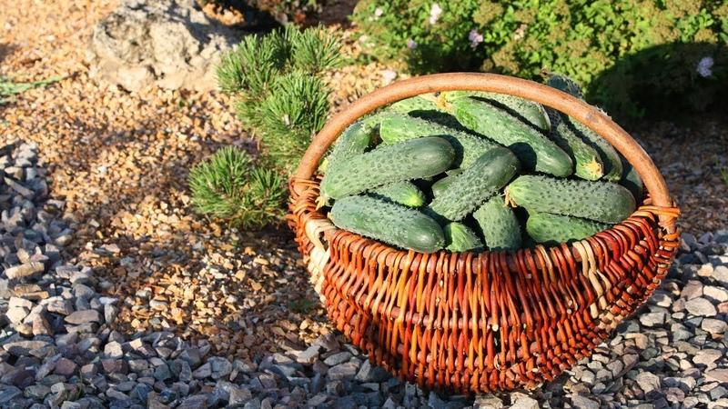 Сажаем огурцы в сетку Ранний урожай гарантирован