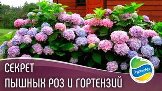 Секрет пышных роз и гортензий // Эксперты OBI рекомендуют удобрения ОрганикМикс для роз и гортензий