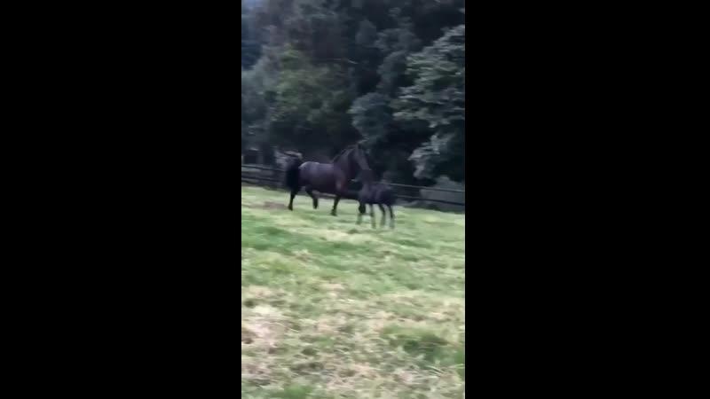 фризская лошадь во всем своем великолепии