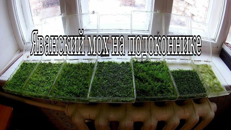 Яванский мох выращивание на подоконнике Java moss growing on a windowsill