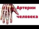 Видео урок по анатомии Артерии человека Артерії людини