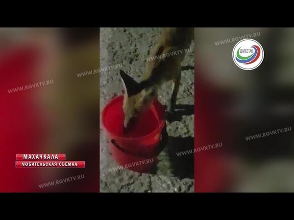 Дикая лиса стала наведываться к махачкалинцам