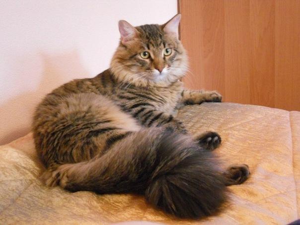 Фенотипы (Кошки похожие на сибирских)