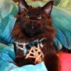 Черный кот мейн кун Franz Ferdinand.