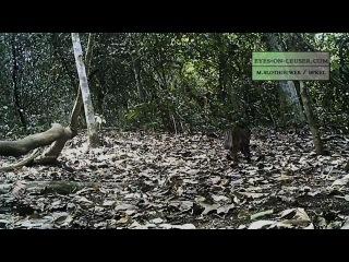 Мраморная кошка, кошка Темминка и Суматранский тигр