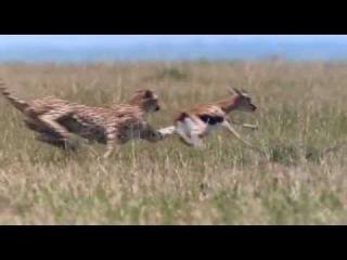 African Cats - Cheetah Hunting