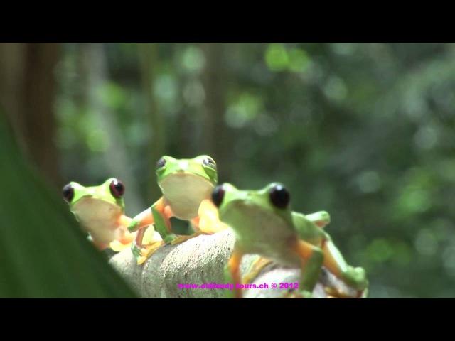 OSA Peninsula frog party Costa Rica