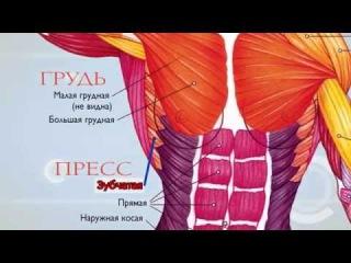 Анатомия  Экскурс по основным мышцам человека
