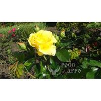 Миниатюрная роза жёлтая