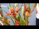 Цветущая Максилярия)) Пахнет кокосом)) Schwerter -Maxillaria tenuifolia
