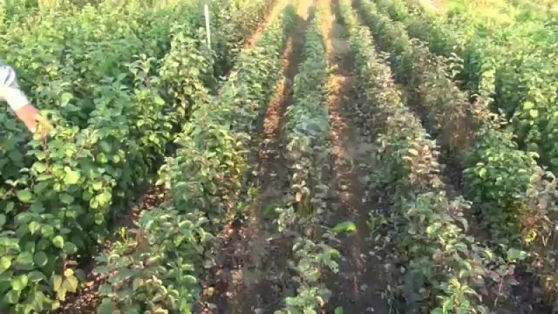 Б.Н. Агеев. Выращивание яблонь и груш на семенных подвоях. Уникальные достижения и технологии.