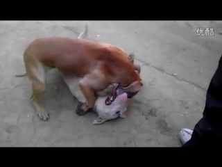 Собачьи бои Питбуль терьер vs бультерьер