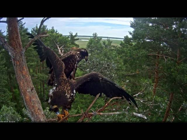 Estonian WTEs ~ One of the eaglets (Rahu) fell out from the nest ! ( 2016 06 23 1016