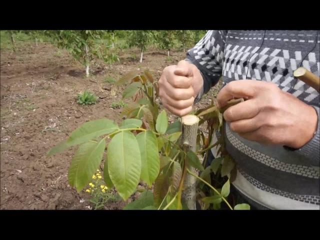 Перепрививка маточно черенкового сада ореха грецкого