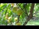 Персик из косточки лучше привитого