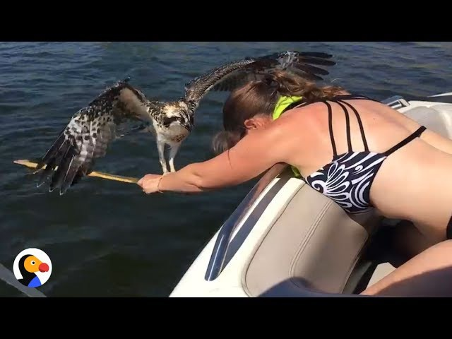 Drowning Osprey Bird Rescued by BRAVE Woman | The Dodo