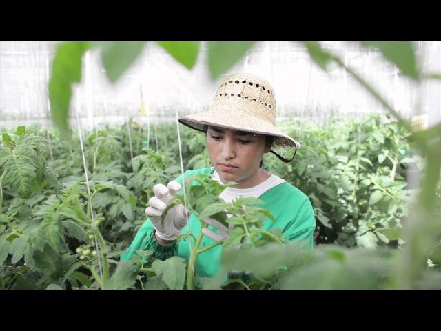 Production of Rijk Zwaan tomato seeds