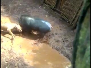 porco x pitbull 3