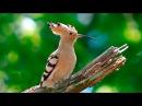 Удод птица (Hoopoe)