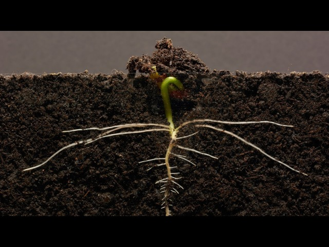 Bean Time Lapse 25 days Soil cross section