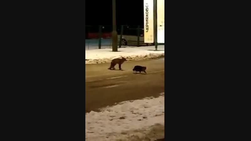 На польской границе кот замесился с лисой из за сосисона