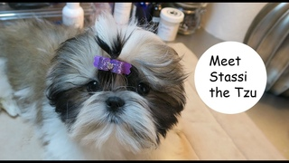 Introducing Stassi the Shih Tzu puppy