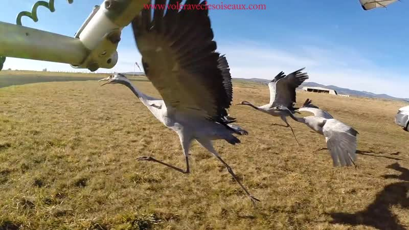 Amazing fligts with birds on board a microlight. Christian Moullec avec ses oise_Full-HD.mp4