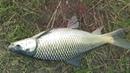 Cute Mrigal Fishing Videos By Dipu Using Reel Rod