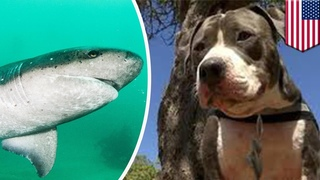 Питбуль-герой спас своего хозяина от акулы! (пес спасла человека) Героический