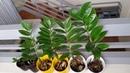 Размножение замиокулькаса Soil and Water Propagation of Zz Plant Stem Cutting