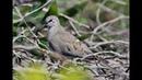 Namaqua dove - Oena capensis (Linnaeus, 1766) - Cyprus