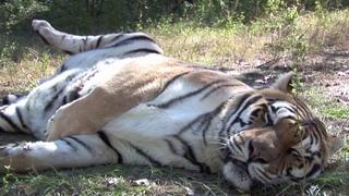 Lion Vs Tiger (leon vs tigre)