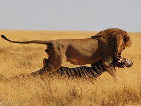 National Geographic Львы Жизнь прайда Документальный фильм о львах HD 720