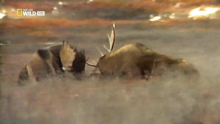 Бойцовский клуб для животных 2 сезон 6 серия Росомахи шершни коалы