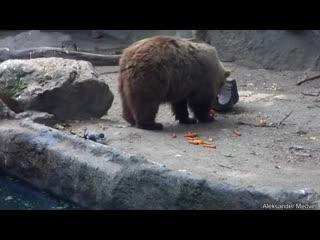 Bear saves crow