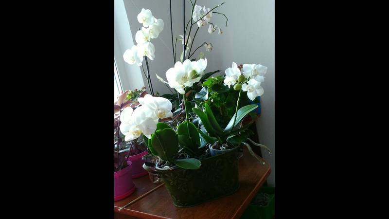 Орхидея новинка Пересадка фаленопсиса во время цветения Transplanting a flowering of Phalaenopsis