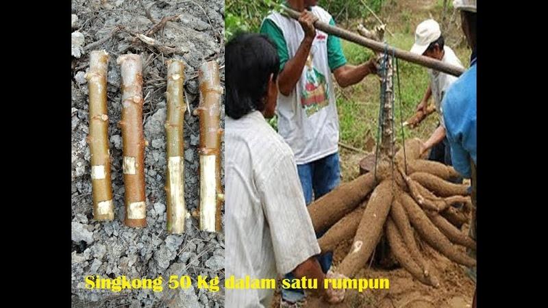 Penemuan terbaru cara tanam singkong agar berbuah berisi banyak 40 50 kg perpohon